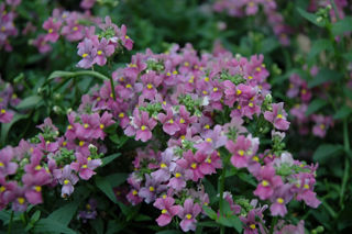 Picture of Nemesia Aromatica Rose Pink