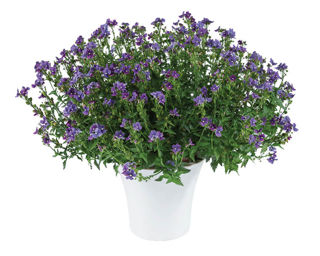 Picture of Nemesia Nesia Blue Denim