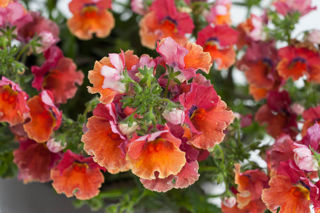 Picture of Nemesia Nesia Tropical
