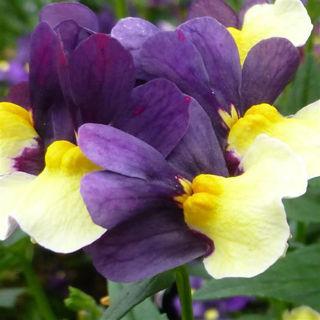 Picture of Nemesia Sunglow Purple Bicolor