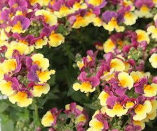 Picture of Nemesia Sunglow Yellow Bicolor