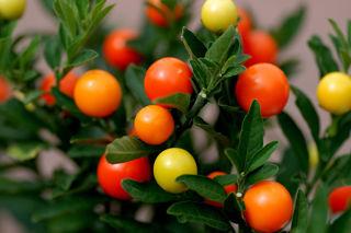 Picture of Ornamental Jerusalem Cherry