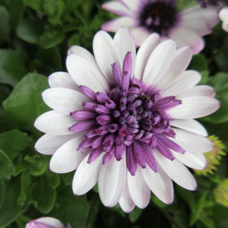 Picture of Osteospermum 4D Berry White
