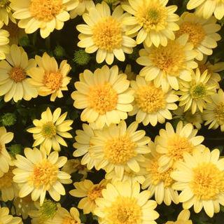 Picture of Osteospermum 4D Sunburst