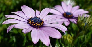 Picture of Osteospermum Margarita Lilac