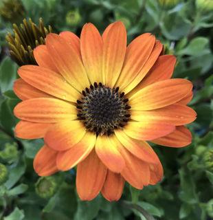 Picture of Osteospermum Margarita Orange Flare