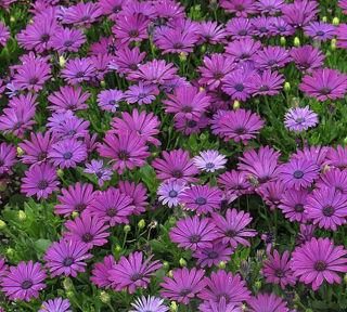 Picture of Osteospermum Margarita Purple