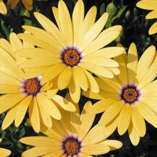 Picture of Osteospermum Margarita Yellow