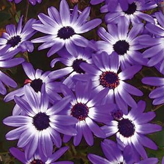 Picture of Osteospermum Zion Purple Sun