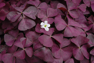 Picture of Oxalis Charmed Wine