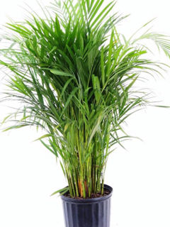 Picture of Palm Areca