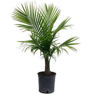 Picture of Palm Majesty