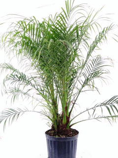 Picture of Palm Phoenix Roebelenii