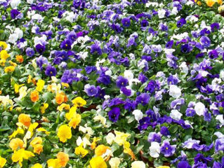 Picture of Pansy Bowl Assorted