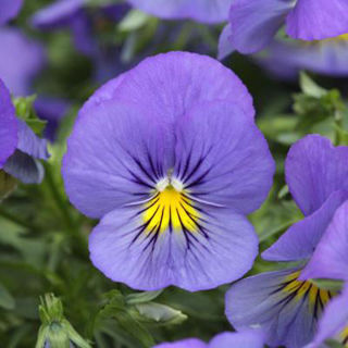 Picture of Pansy Cool Wave Blue Skies