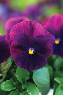 Picture of Pansy Cool Wave Purple