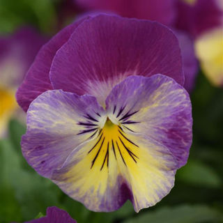 Picture of Pansy Cool Wave Raspberry Swirl