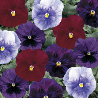 Picture of Pansy Delta Berry Tart