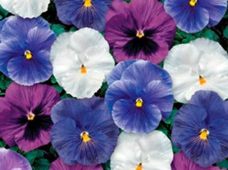 Picture of Pansy Delta Cool Water Mix