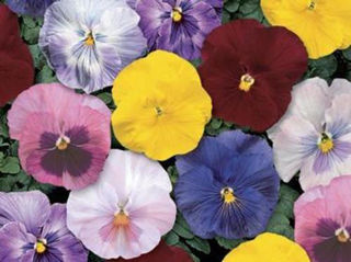 Picture of Pansy Delta Monet Mix