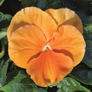 Picture of Pansy Delta Pure Deep Orange