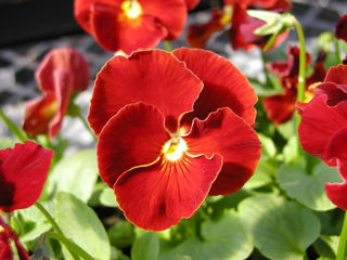 Picture of Pansy Delta Pure Red