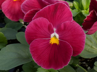 Picture of Pansy Delta Pure Rose