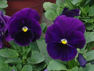 Picture of Pansy Delta Pure Violet