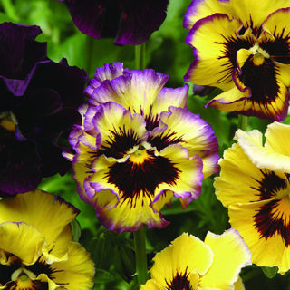 Picture of Pansy Frizzle Sizzle Lemonberry