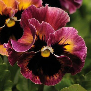 Picture of Pansy Frizzle Sizzle Rasberry