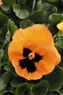 Picture of Pansy Inspire Orange w/Blotch