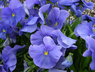 Picture of Pansy Panola True Blue XP