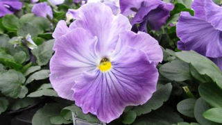 Picture of Pansy Spring Matrix Lavender Blue Shades