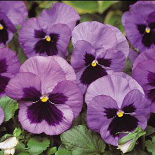 Picture of Pansy Spring Matrix Ocean