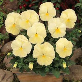 Picture of Pansy Spring Matrix Primrose