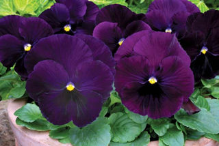 Picture of Pansy Spring Matrix Purple