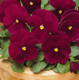 Picture of Pansy Spring Matrix Rose
