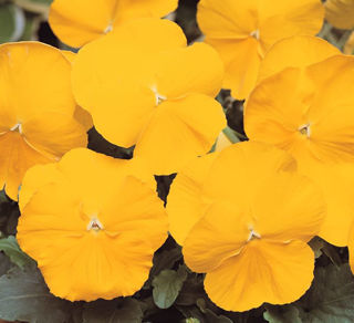 Picture of Pansy Spring Matrix Yellow