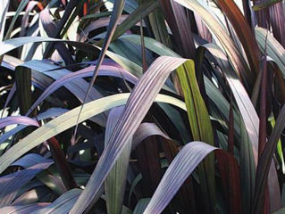 Picture of Pennisetum Vertigo