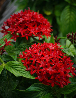Picture of Pentas Bee Bright Red