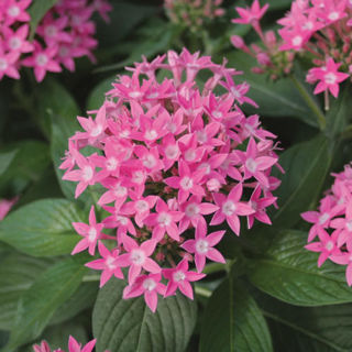 Picture of Pentas Butterfly Deep Pink