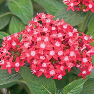 Picture of Pentas Butterfly Red