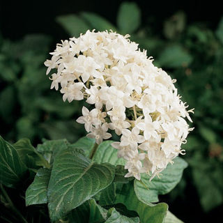 Picture of Pentas Butterfly White