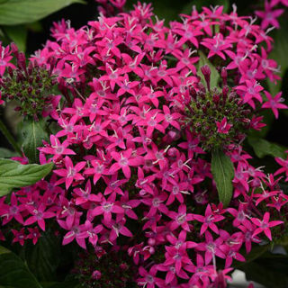 Picture of Pentas Lucky Stars Violet