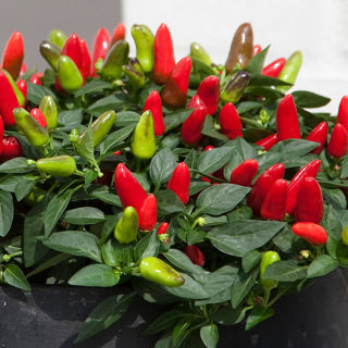 Picture of Pepper Acapulco Red