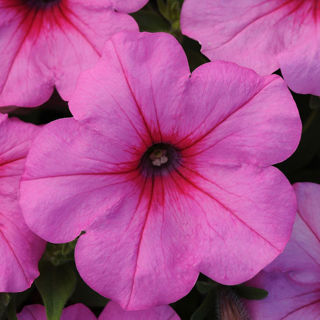 Picture of Petunia Easy Wave Pink