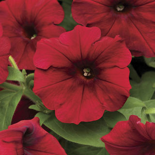 Picture of Petunia Easy Wave Red
