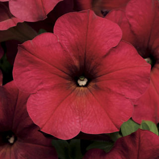 Picture of Petunia Easy Wave Velour Berry
