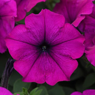 Picture of Petunia Easy Wave Violet