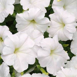 Picture of Petunia Easy Wave White